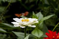 在白菊上悬停采蜜的蜂鸟鹰蛾