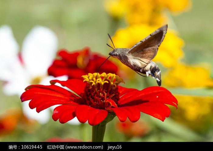 在红色菊花上采蜜的蜂鸟鹰蛾图片
