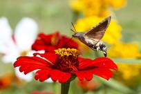 在红色菊花上采蜜的蜂鸟鹰蛾