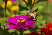 在紫色菊花上采蜜的蜂鸟鹰蛾