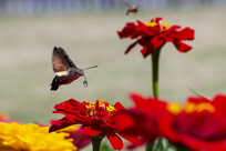 准备采蜜卷曲喙管的蜂鸟鹰蛾