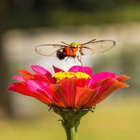 飞舞翅膀的咖啡透翅天蛾