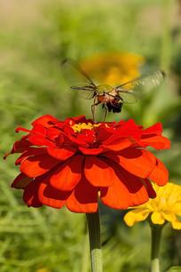 飞舞在花蕾上的咖啡透翅天蛾