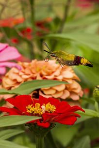 卷曲喙管采蜜好的咖啡透翅天蛾