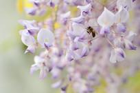 蜜蜂和紫藤花