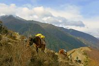 四姑娘山当地居民驮货物的马