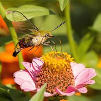 在粉红菊上采蜜的咖啡透翅天蛾
