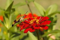 在红菊上采蜜的咖啡透翅天蛾