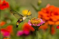 在紫菊上采蜜的咖啡透翅天蛾