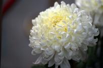 白越山菊花