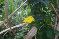 草丛里的丝瓜花