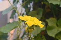 单朵丝瓜花