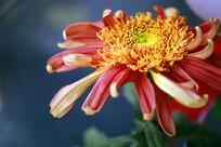宽瓣型菊花