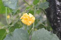 小朵丝瓜花