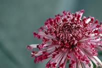 姹紫嫣红菊花