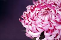紫强大菊花