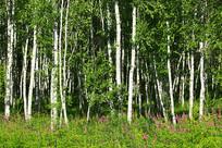 呼伦贝尔桦林风景