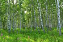 呼伦贝尔林区白桦林风景