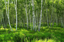 绿色原野白桦林