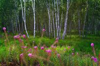 内蒙古白桦林风景