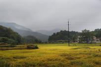 乡村金色稻田