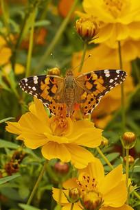 橙色菊花上采蜜的大红蛱蝶