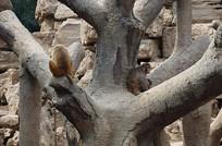 大树上的猴子