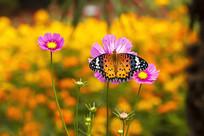 粉色波斯菊花上的大红蛱蝶