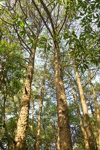 森林树木仰拍