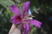 洋紫荆花图片