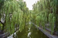 河边的垂柳