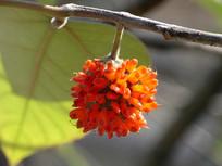 挂在枝头的构树果实