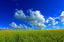蓝天白云下的田野油菜花