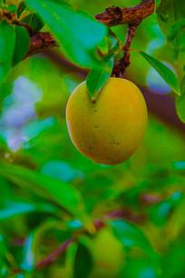 挂在枝头上的一枚黄杏