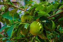 树叶丛中的几个黄元帅青苹果