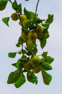 树枝上的几嘟噜沙果