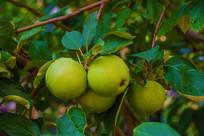 树枝上一串带水珠黄元帅青苹果