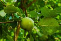 树枝上一个带水珠黄元帅青苹果