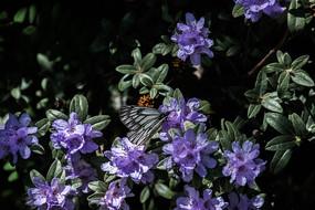 普达措森林公园灰背杜鹃摄影图