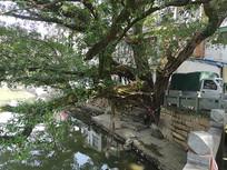 水边百年榕树