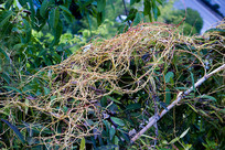 一年生寄生植物菟丝子