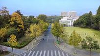校园秋天的银杏大道