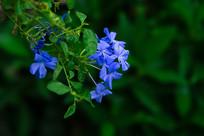 盛开蓝色小花朵的蓝花丹