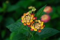 五色花朵的马缨丹