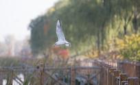 公园里的红嘴鸥