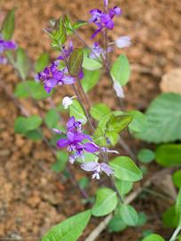 瓜子金开满紫色美丽的花朵