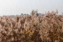 河边秋天的芦苇