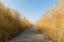 芦苇丛中的木栈道