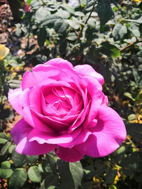 盛开的粉色月季花