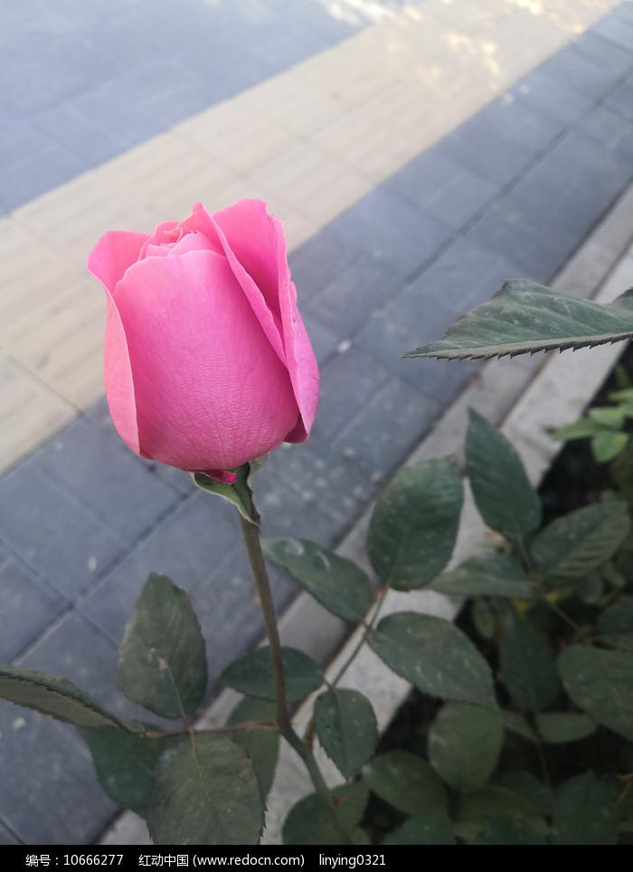一朵粉色月季花苞图片
